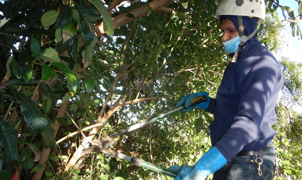 Pruning back tree brances as part of our gutter cleaning service